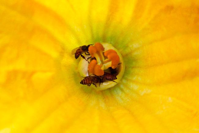 insetti pronubi