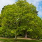 Zelkova | Come coltivare l'olmo giapponese (anche bonsai)