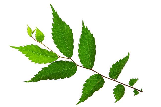 olmo giapponese foglie