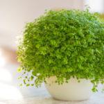 Soleirolia soleirolii o Helxine | Pianta da appartamento e tappezzante