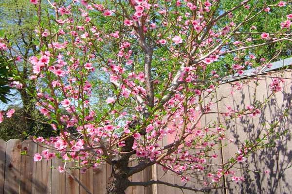 alberi da giardino albicocco