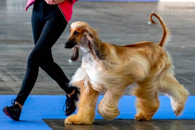 cane afgano