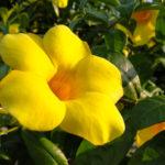 Allamanda | Come coltivare questa rampicante sempreverde