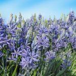 Camassia | Bulbosa perenne dai bei fiori decorativi