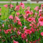 Diascia, pianta da fiore | Caratteristiche e coltivazione