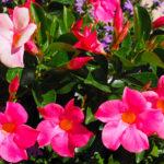Sundevilla | Rampicante tropicale dai bei fiori a trombetta