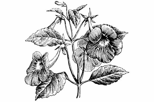 achimenes longiflora