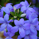 Fiori di zaffiro | Come coltivare la Browallia Speciosa
