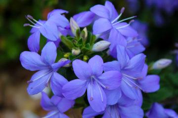 fiori di zaffiro
