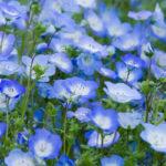 Nemophila menziesii | Tappezzante dai fiori azzurri