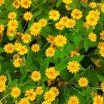 Sanvitalia | Caratteristiche e coltivazione della zinnia strisciante