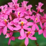 Epidendrum, orchidee decorative | Caratteristiche e coltivazione