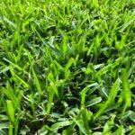 Gramignone, il prato rustico e calpestabile | Come piantarlo