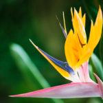 Sterlizia | Come coltivare l'uccello del paradiso